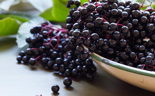 owoce czarnego bzu o licznych właściwościach